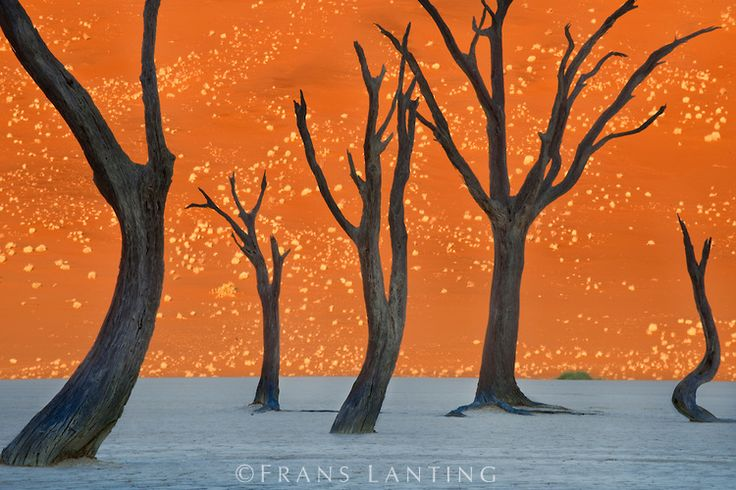 #photographer : Frans Lanting - Dead camelthorn trees, Acacia erioloba, Dead Vlei, Sossusvlei, Namib-Naukluft National Park, Namibia