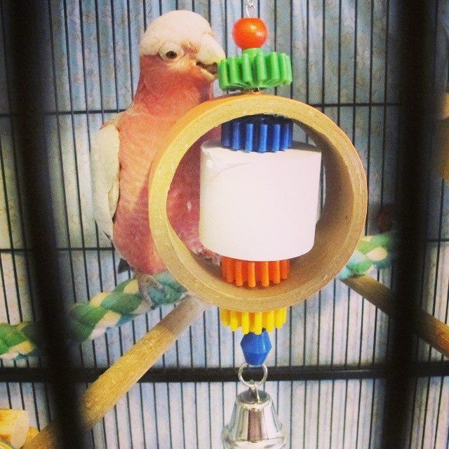 'My Galah, Patricia aka Patty playing with the SuperBird Tape Dispenser Toy I got her from S4P. She approves!' thanks for sharing this photo with us AnnMaree - always great to see a happy shop4pets customer