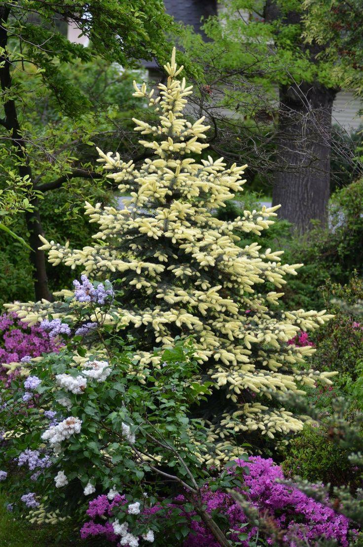 Dwarf ornamental trees for landscaping - Picea Pungens Dwarf Spruce