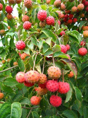 Kousa dogwood fruit, these are SO good. Almost like a mango.