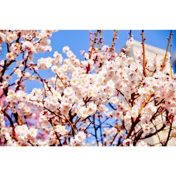 Buy Bare Root Trees Online Uk Tree Supplier Flowering Cherry Tree Cherry Fruit Tree Trees To Plant
