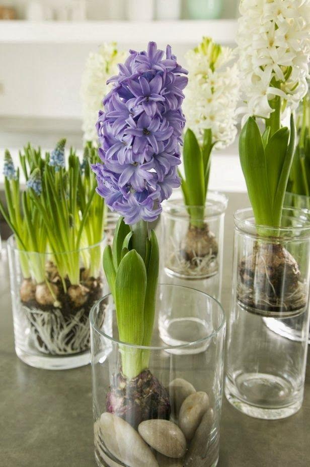 Ma maison au naturel: La fleur du mois : la jacinthe