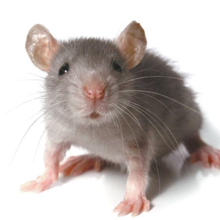 BRÉSIL :: Une souris dressée transportait de la drogue entre les cellules des détenus :: BRAZIL - Camer.be