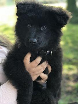 German Shepherd Dog puppy for sale in JEFFERSON, OR. ADN-59713 on PuppyFinder.com Gender: Female. Age: 12 Weeks Old