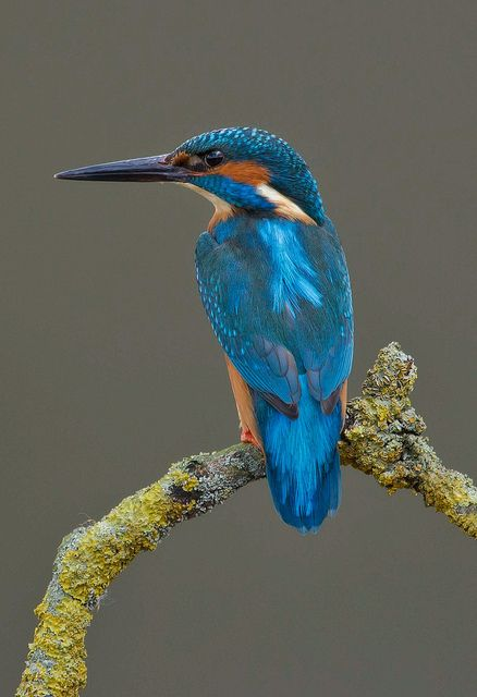The Kingfisher. In my opinion; one of the most beautiful birds.