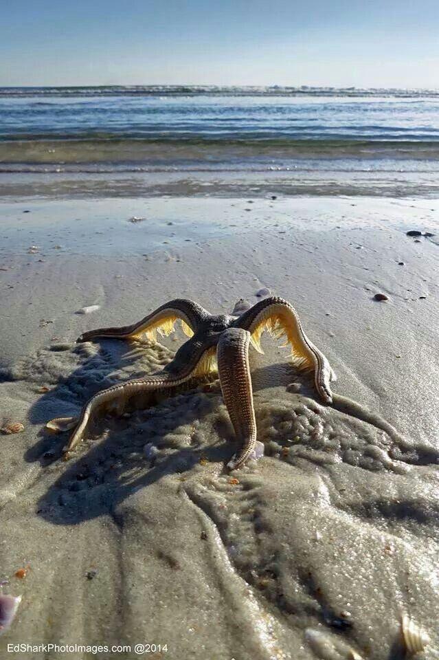 Starfish walking its way back to the sea, Flagler Beachvia plus.google.com