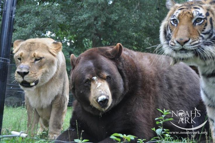 Best BLT Baloo Leo Shere Khan Bear Lion Tiger Images - Lion tiger bear best friends