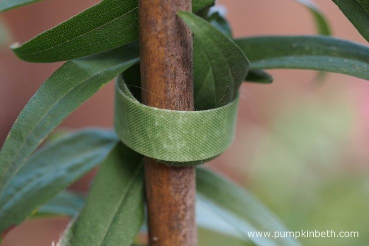 Velcro One-Wrap Plant Ties are ideal for tying in herbaceous perennials and Sweet Peas.