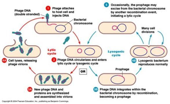 Lytic And Lysogenic Cycle Worksheet – Virus Worksheet