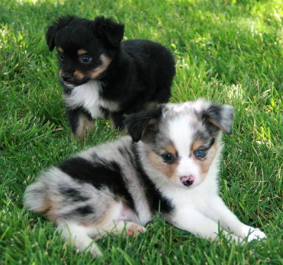 Toy Mini Australian Shepherd Pups For Sale CO | Tug@YurHart - http://www.training-a-puppy.info/toy-mini-australian-shepherd-pups-for-sale-co-tugyurhart/
