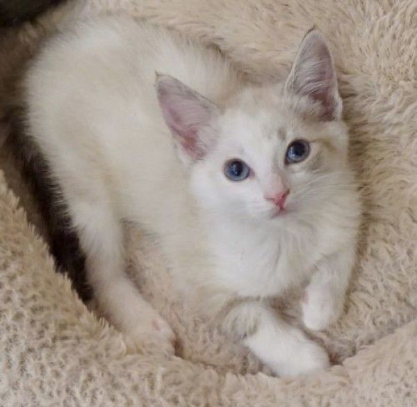 Siamese Cat For Adoption In Woodland Hills California Ella Cf In Woodland Hills California Cat Adoption Siamese Rescue Woodland Hills