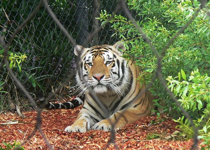 """Thank you to Slate.com for this in-depth article suggesting that LSU should NOT obtain another live tiger mascot now that Mike VI has died. """"From 2007-213, Mike attended 32 of 43 home games"""" at LSU stadium. Is this how a majestic alpha predator should be treated? As an entertainment prop? Carted around a football stadium while 100,000 screaming fans cheer? It's barbaric and outdated. This tradition needs to end now. LSU, please honor Mike VI and all of the prior Mikes by NOT replacing him."""