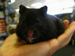 Black Teddy Bear Hamster. Isn't He Beautiful? In Case You Don't Know The Black Teddy Bear Hamster Is A Color Phase Of Syrian Hamster.