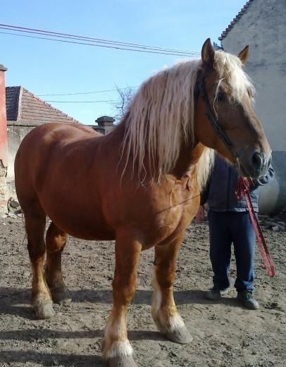 Hungarian Coldblood stallion Palin-7 Gazda