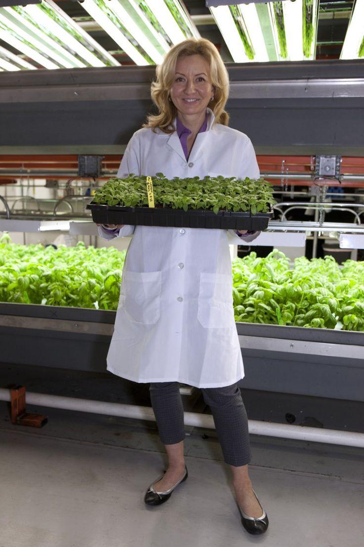 Indoor grown hydroponic basil...