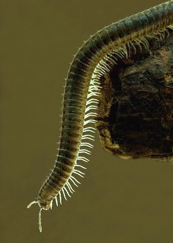 1000+ images about Top 10 Facts About Millipedes on