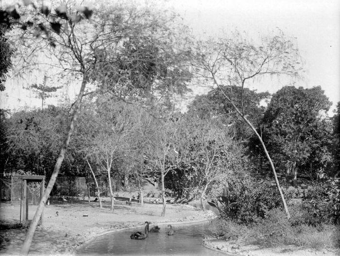 A pond filled with black swans (Cygnus atratus)  in Soerabaiasche Planten-en Dierentuin (Surabaya Zoo), 1931.