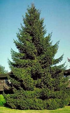 Norway Spruce - Fast Growing Spruce Tree, Fastest of all Spruces, Grows 40' to 60' tall with a 25' to 30' spread, Ideal Windbreak Tree