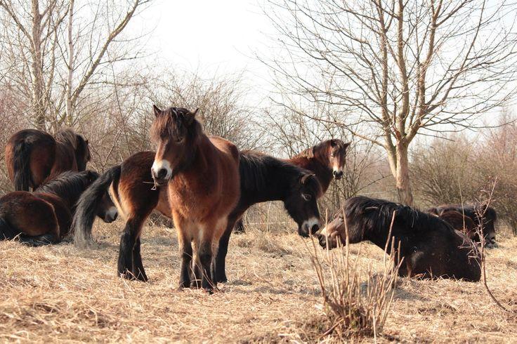 Divocí koně u Milovic jsou na zimu připraveni, zimní srst je před případným mrazem a nečasem ochrání.