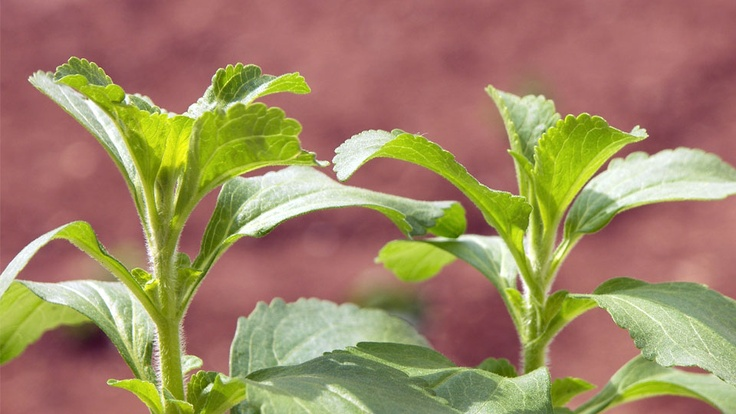 STEVIA: Sweet, but innocent