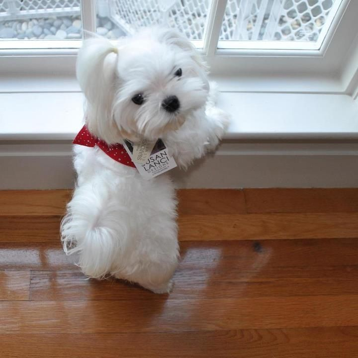 Download Maltese Chubby Adorable Dog - 59274d704b7e33b20199c94857b0f545--baby-maltese-maltese-puppies  2018_623848  .jpg