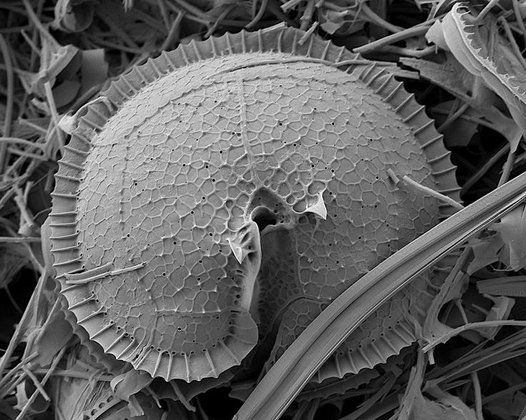 tangledwing:  Scanning Electron Micrograph of Phytoplankton from the Southern Ocean and Antarctica. Via Robert Johnson.