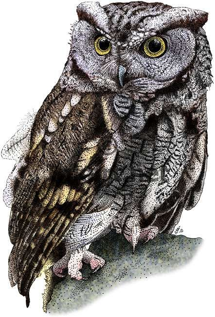 Fine Art Illustration of a Western Screech Owl by Roger Hall, simply beautiful!