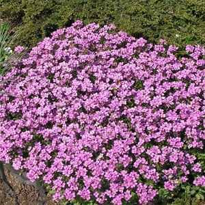 29 best images about rock cress on pinterest sun for Perennial ground cover plants for sun