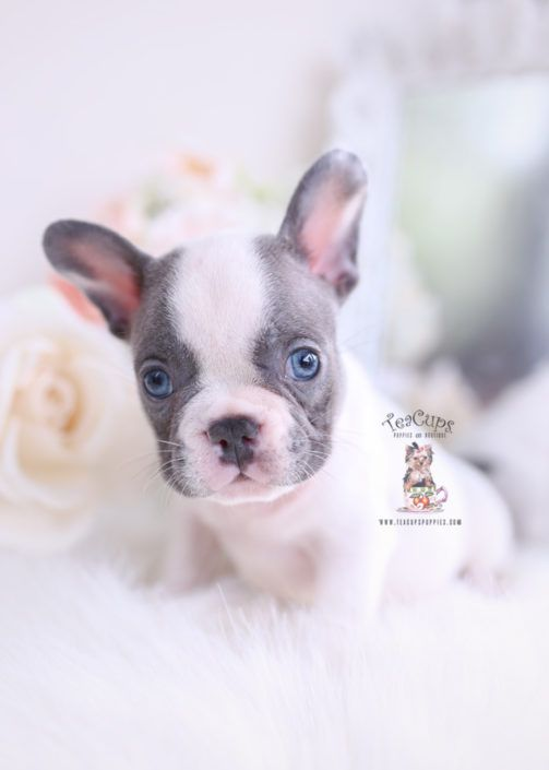 Blue Pied French Bulldog Puppy For Sale Teacup Puppies 255 A Teacup Puppies Bulldog Puppies French Bulldog Puppies