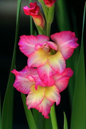 Gladiolus, flower meaning strength or strength of character  Tattoo idea
