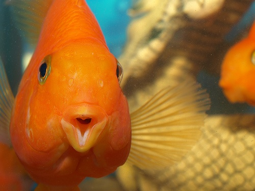 72 best images about aquariums fish on pinterest fish for Cute freshwater fish