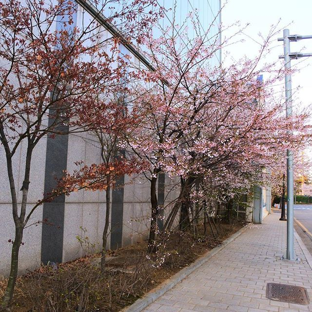#Sakura 🌸 I wish there was a place like this in the #Philippines preferably in #Palawan ☺️ #incheon #southkorea