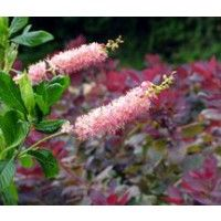 Ruby Spice Summersweet | Buy Online at Nature Hills Nursery