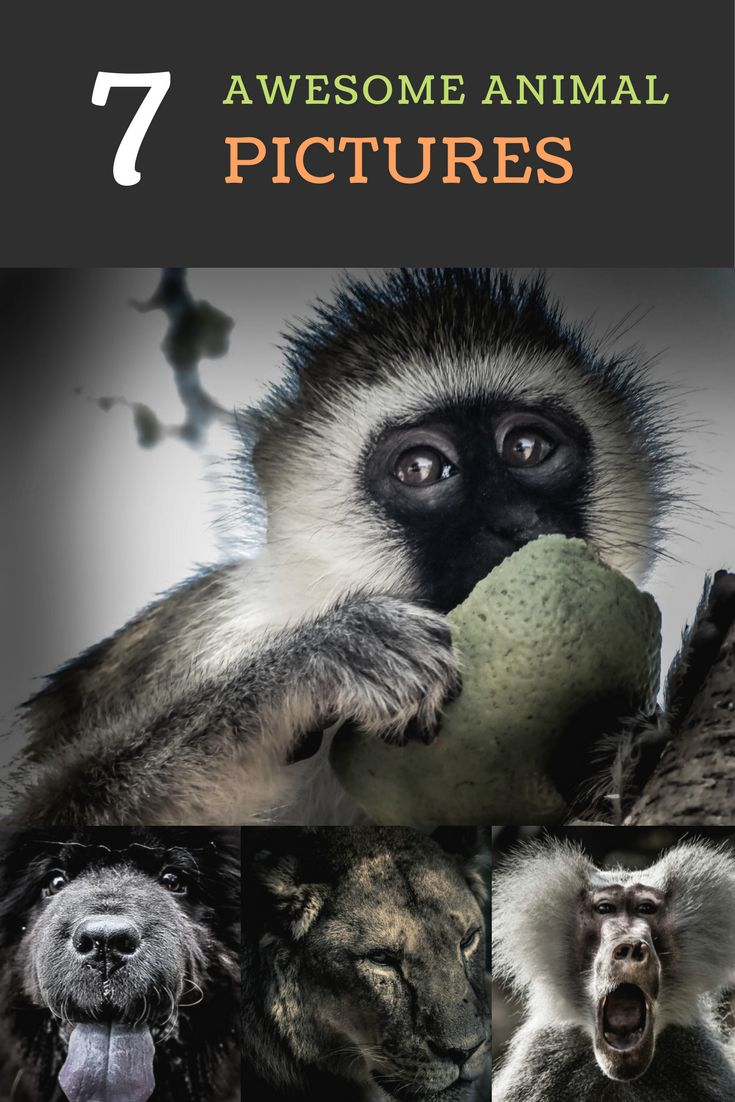 The best and most awesome animal and wildlife photography pictures you can imagine. Discover here pictures that you will find on your next safari or your next travel trip to Africa, South-America or Asia. Feel free to share those pictures around your network.