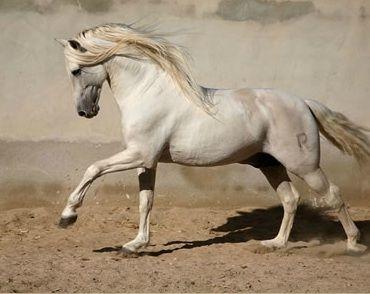 Peralta-Caballos PRE venta-Yeguada Pura Raza Español y CDE-Spanish horses-Elevage-Chevaux-Peralta: julio 2012