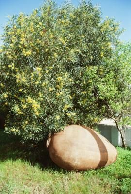 Bought an Olive Tree today. OLEA EUROPAEA ARBEQUINA. It is considerably smaller than this picture (1 gallon pot). Can't wait to see how it does in the Fraser Valley.