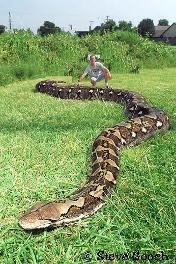 Il s'agit d'un python réticulé. Il pèse 450kg et mesure dans les 15m. Ce serpent géant se trouve au Jakarta, en Indonésie, il mange à peu près 3 à 4 chiens par mois et peut tout à fait …