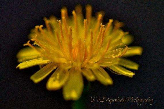 Dandelion Flower by RDiepenheimFoto on Etsy, $10.00
