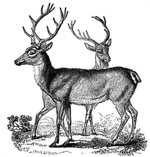 Старинные черно-белые ретро рисунки Пара благородных оленей горделиво красуется на черно-белом рисунке.