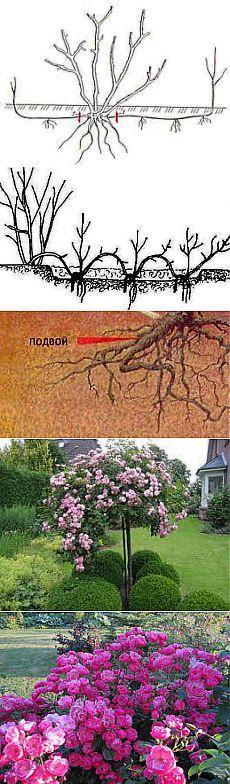 Размножение роз отводками, делением куста и ростками | Выращивание, уход за розами, сорта и букеты из роз