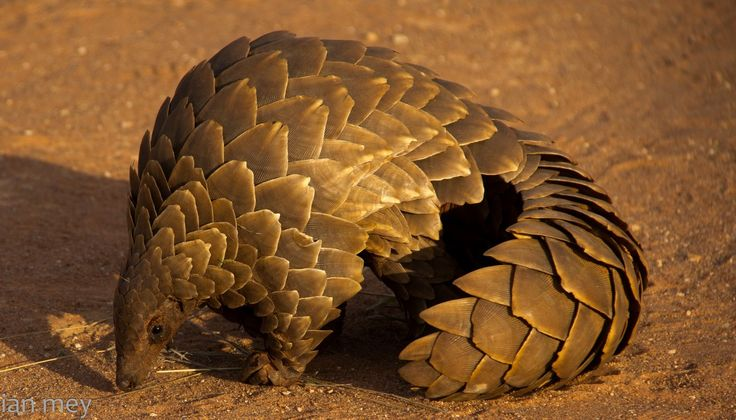 He looked greedily at the shore, the known haunt of the aardvark, the pangolin, the camelopard... -- The Mauritius Command, Chapter 3 // Pangolins are also known as Scaly Anteaters. The Tree Pangolin shown above, Phataginus tricuspis, is found in equatorial Africa. When threatened, they can roll into a ball, extend their scales, and make a cutting action by using muscles to move the scales back and forth.