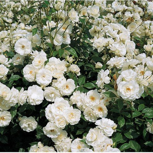 Iceberg Climbing Rose Hardy, almost thornless, fragrant (like mild honey), longblooming. Long flexable canes. appleblossom-to-white blooms over a long season. 12 to 15 feet tall and 7 to 9 feet wide, is ideal for arbors, walls, fences, outbuildings. Blooms on old wood only, will produce more flowers with age (and saving you a lot of time with the pruning shears!). Zones 4-9