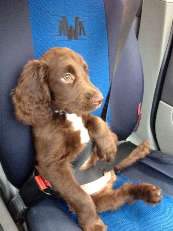 Sprocker Spaniel, Charlie, Chillin' In The Car *Adorable*