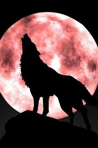Lindo lobo.ya se comio a caperucita.