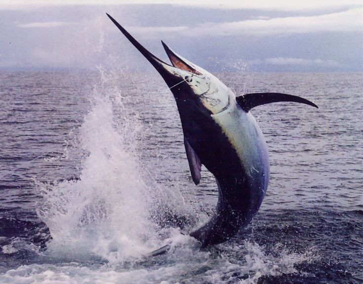 The national Fish The Blue Marlin: you dont want to get a FINE for eating this baby! Only for Sport Fishing!