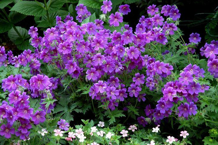 Géraniums tapissants et rampants Géranium magnifique (Geranium x magnificum) https://jardinage.ooreka.fr/plante/voir/42/geranium-vivace