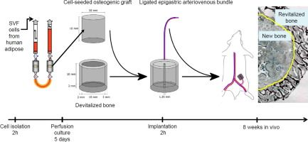 Engineered axially-vascularized osteogenic grafts from human adipose-derived cells to treat avascular necrosis of bone in a rat model