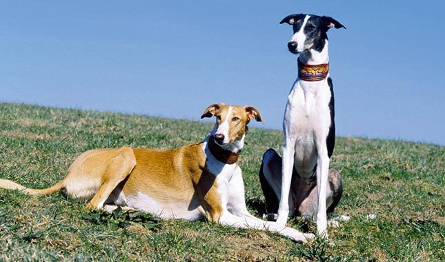 The Chart Polski, or Polish Greyhound, was used as a hunting dog as early as the 1600s. The breed faced near extinction during the 19th and 20th centuries, until lovers of the dog began to repopulate Chart Polskis in Poland in the 1980s.