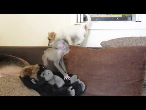 This Baby Monkey is Best Friends With Jack Russell Puppies