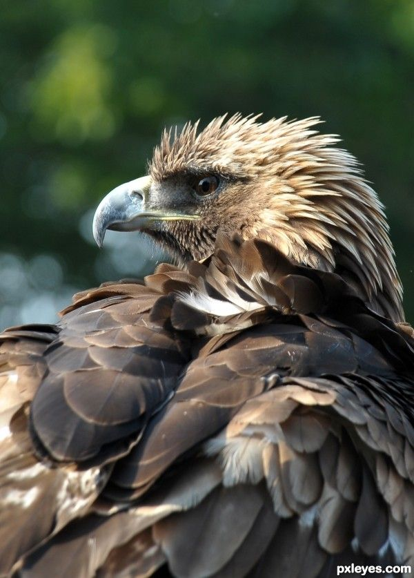 juvenile Bald Eagle ... the white head feathers will be full at sexual maturity - 4 to 5 years